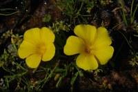 oxalidaceae-oxalis_namaquana.jpg