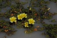 oxalidaceae-oxalis_natans.jpg