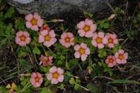 oxalidaceae-oxalis_obtusa.jpg