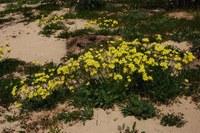 oxalidaceae-oxalis_pes-caprae.jpg