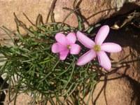 oxalidaceae-oxalis_polyphylla.jpg