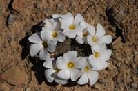 oxalidaceae-oxalis_sp_1.jpg