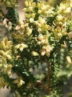 penaeaceae-penaea_mucronata.jpg