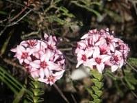 penaeaceae-sonderothamnus_speiosus.jpg