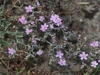plumbaginaceae-limonium_scabrum.jpg