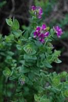 polygalaceae-polygala_sp.jpg