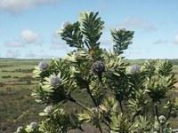 proteaceae-leucadendron_pubescens.jpg