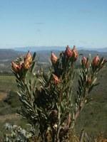 proteaceae-leucadendron_rubrum.jpg