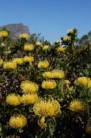 proteaceae-leucospermum_cordifolium_1.jpg