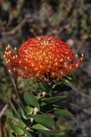 proteaceae-leucospermum_cordifolium.jpg