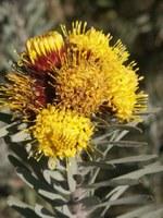 proteaceae-leucospermum_rodolentum.jpg
