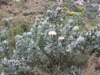 proteaceae-protea_nitida_1.jpg