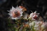 proteaceae-serruria_florida.jpg