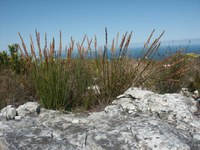restionaceae-elegia_persistens.jpg