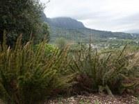 restionaceae-elegia_stipulans.jpg