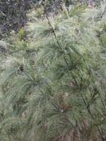restionaceae-rhodocoma_capensis.jpg