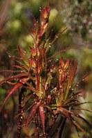 roridulaceae-roridula_gorgonias.jpg