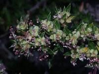 rosaceae-cliffortia_ruscifolia.jpg