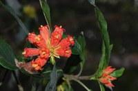 rubiaceae-burchellia_bubalina.jpg