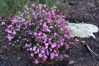 rutaceae-acmadenia_obtusata.jpg