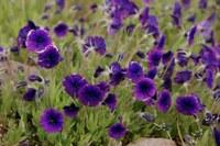 scrophulariaceae-monopsis_debilis.jpg