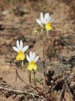 scrophulariaceae-nemesia_anisocarpa.jpg