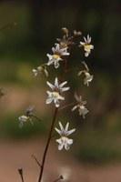 scrophulariaceae-nemesia_bicornis.jpg