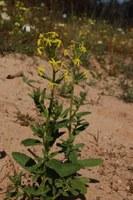 scrophulariaceae-sutera_tristis.jpg