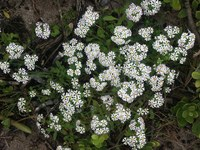 scrophulariaceae-zaluzianskya_affinis_1.jpg
