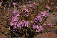 scrophulariaceae-zaluzianskya_villosa.jpg