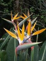 strelitziaceae-strelitzia_reginae.jpg