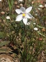 tecophilaeaceae-cyanella_alba.jpg