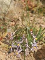 tecophilaeaceae-cyanella_hyacinthoides.jpg