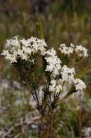 thymelaeaceae-gnidia_pinifolia.jpg