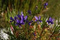 violaceae-viola_decumbens.jpg