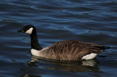 Canada_goose_-branta_canadensis.jpg