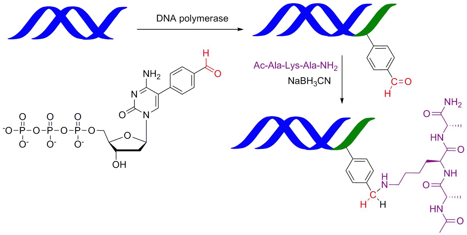 Nový způsob konstrukce konjugátů nukleových kyselin s peptidy