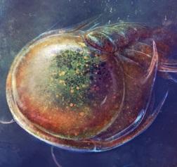 Gigantic trilobite larvae