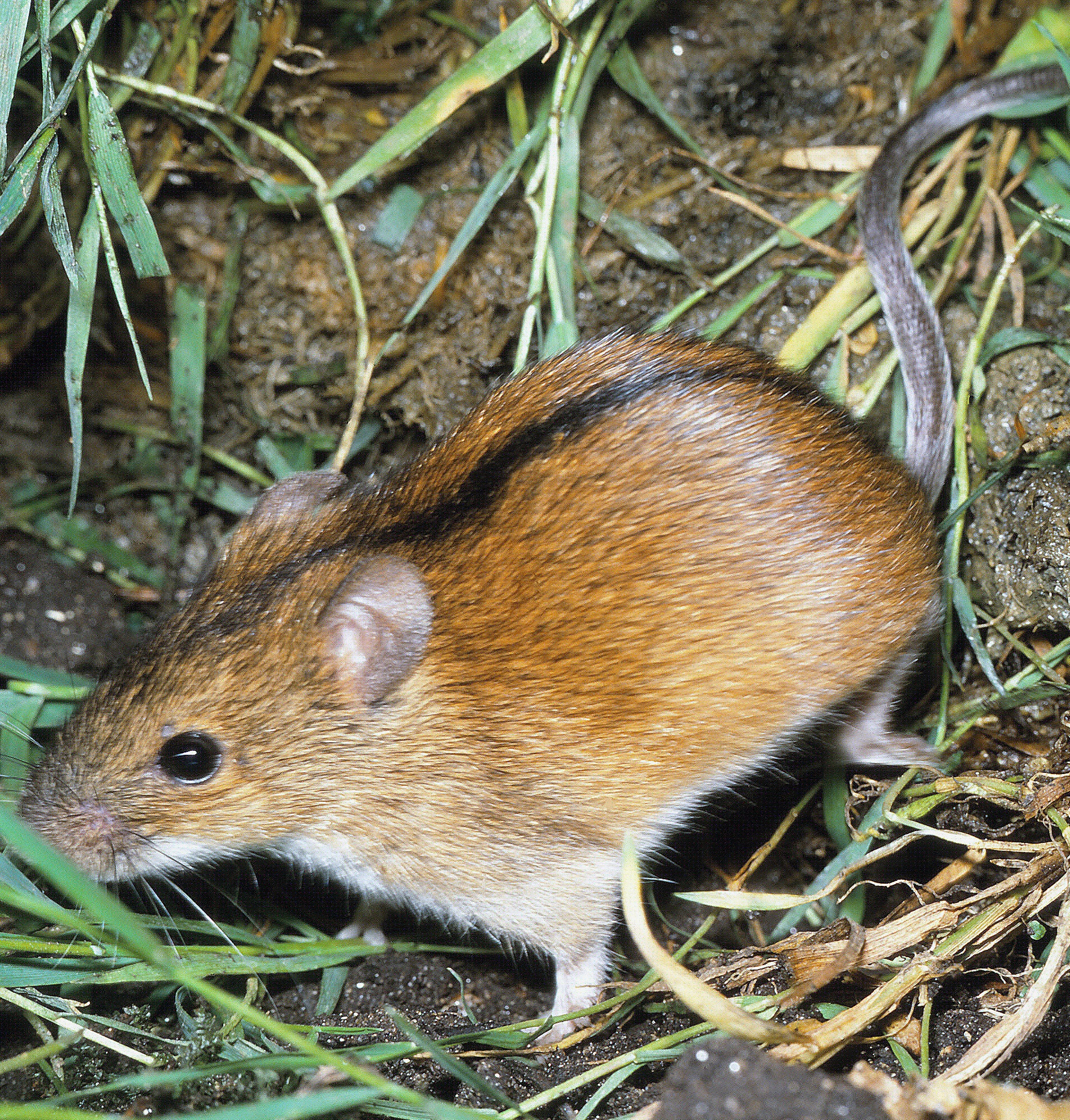 BIOCEV zoologists have mapped the spread of rodents from Asia to Europe. Genetic traces from the Ice Age helped them.
