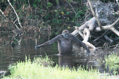 Are intestinal parasites of great apes and humans as closely related as their hosts are?