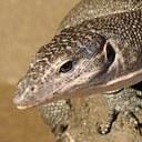 Popular Science: The bigger lizard attacks