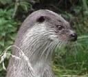 Popular Science: Otters vs Anglers: Do they catch fish of the same species and sizes?