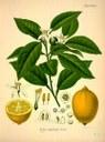 Citron web
