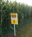 Hybrid_corn_Yellow_Springs,_Ohio_oříz.jpg