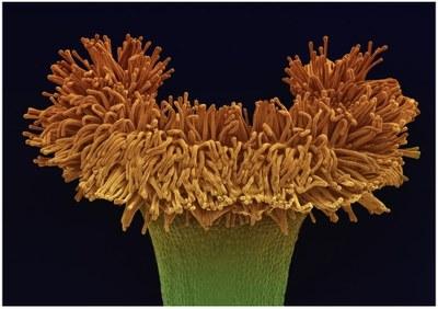 Viktor Sýkora Begonia crassicaulis.jpg