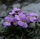 Důsledky genomové duplikace u planého druhu r. Arabidopsis