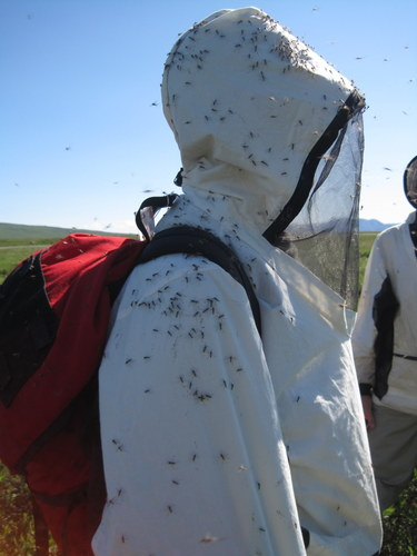 Komáři v Arktidě