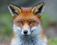 Liška obecná patří k našim nejznámějším predátorům. Foto: Peter Trimming (via Wikimedia Commons)