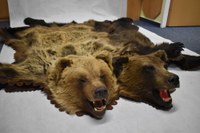 Medvědí kůže s vypreparovanými hlavami a tlapami. Foto: Dominika Formanová.