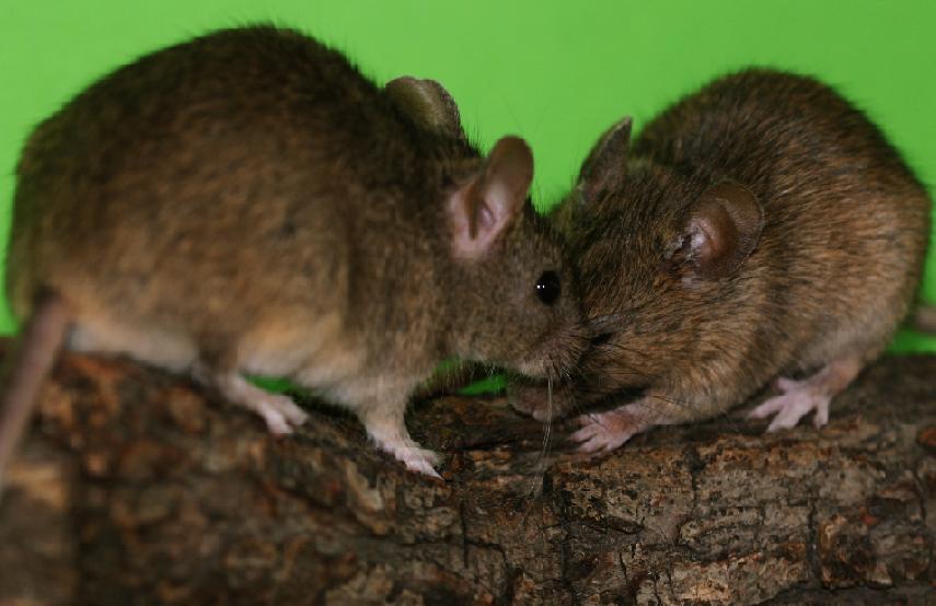 Laboratorní myšky. Foto: Radka Stopková